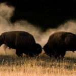 Fighting buffalo - Ledelsen under pres