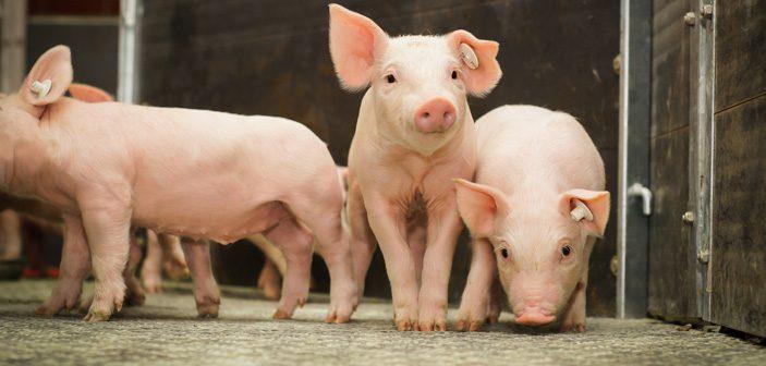 strøbesparelser for en svineproucent
